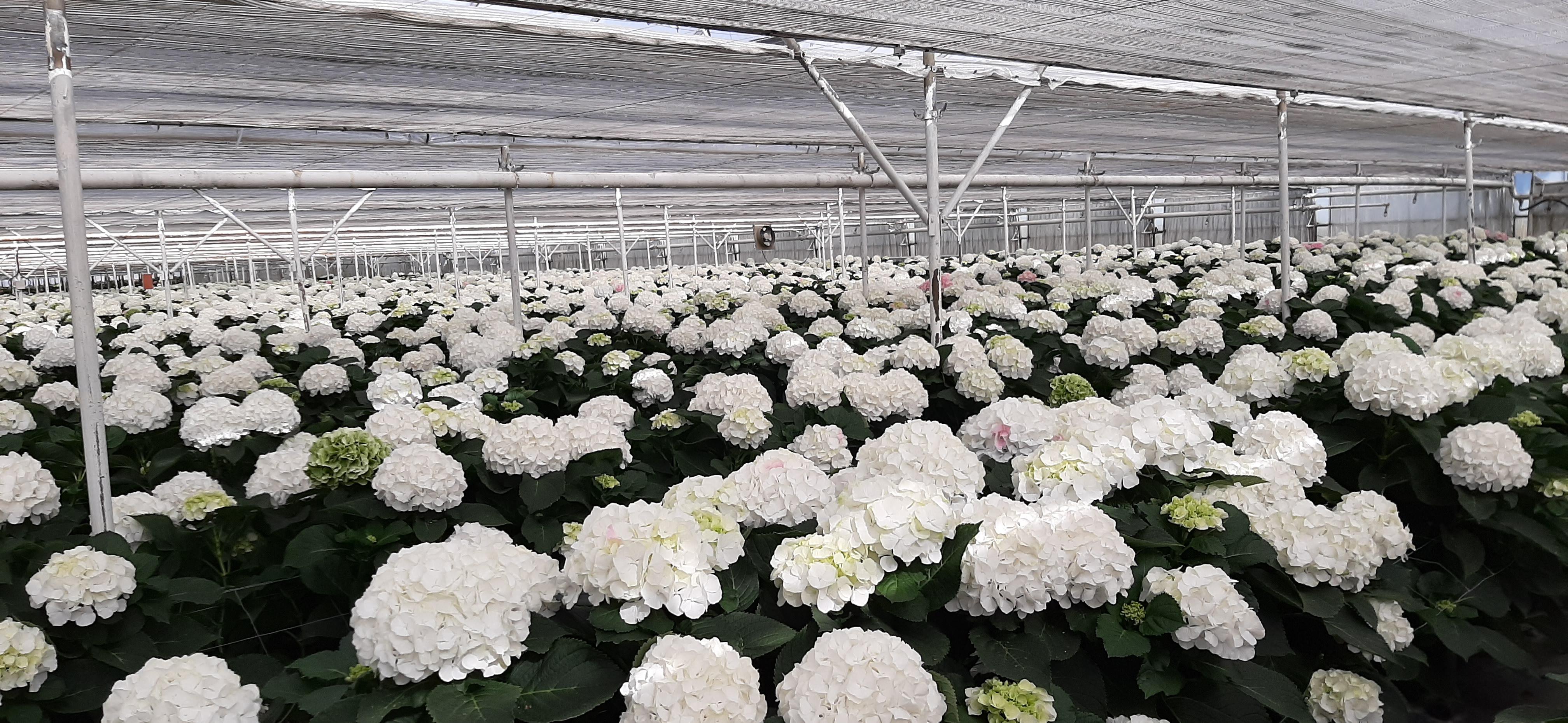 JLP Flowers/Kwekerij Borgers