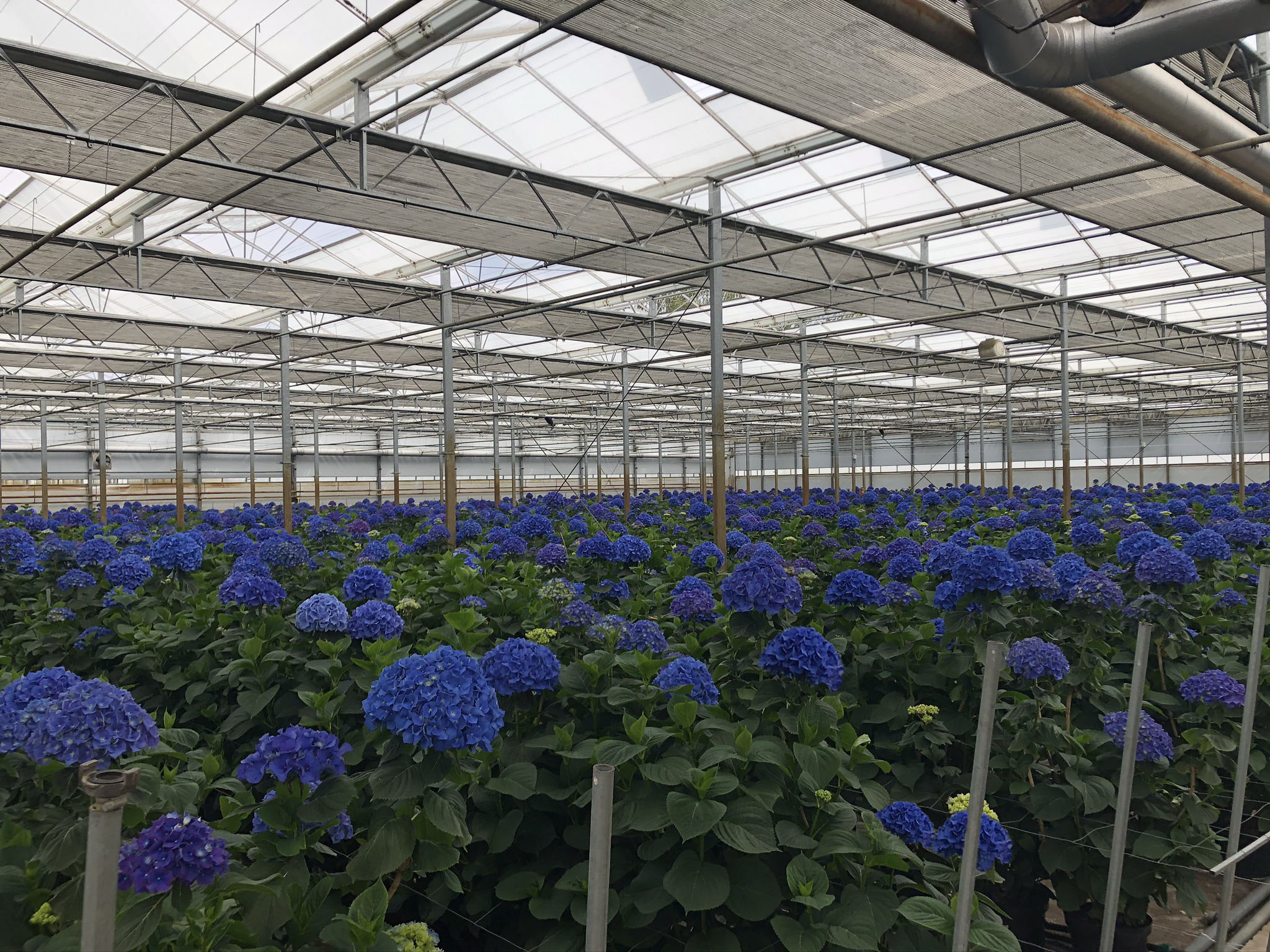 Pimpernel JLP Flowers / Kwekerij Borgers