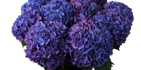Rodeo Purple