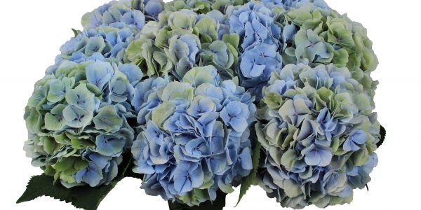 Verena Blue Semi Classic